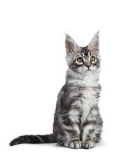 Black silver tabby Maine Coon cat kitten sitting isolated on white background  looking side ways and up