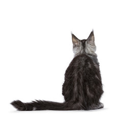 Backside of black silver tabby Maine Coon cat kitten sitting isolated on white background