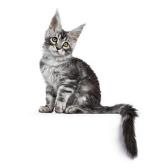 Black silver tabby Maine Coon cat kitten sitting isolated on white background with tail hanging from edge