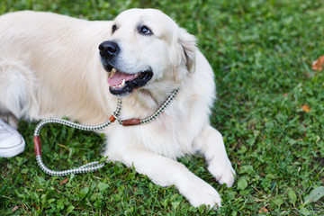 Photo of golden retriever with collar on walk