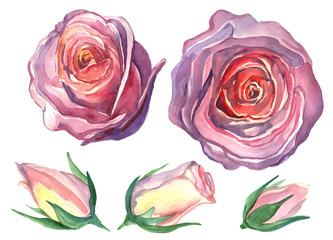Pink buds of roses.