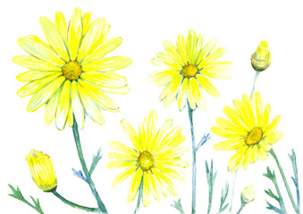 Botanical yellow daisies in watercolor.