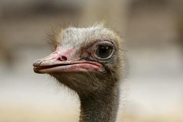 Image of an ostrich bird head on nature background. Farm Animals. Bird.