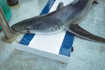Shark on measuring mat
