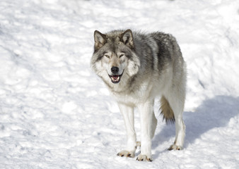 Timber wolf or Grey Wolf (Canis lupus) isolated on a white background standing in the winter snow in Canada