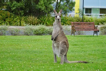 A wild grey kangaroo in Canberra, Australian Capital Territory