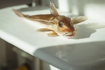Dead fish on worktop