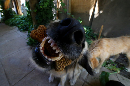 A mongrel dog named Tita eats a bone shaped cookie at its home is Santiago