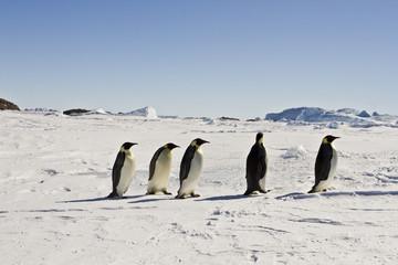 Emperor penguins(aptenodytes forsteri) on the ice of Davis sea,Antarctica