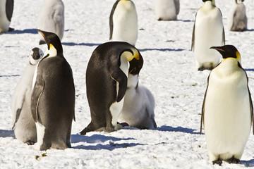 The family of the Emperor penguin(aptenodytes forsteri)colony on the ice of Davis sea,Eastern Antarctica
