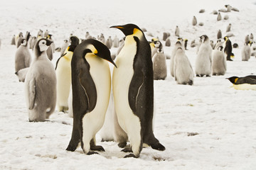 The family of the Emperor penguin(aptenodytes forsteri)colony on the ice of Davis sea,Eastern Antarctica