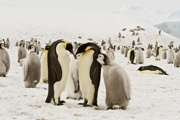 Tuinposter Pinguin The family of the Emperor penguin(aptenodytes forsteri)colony on the ice of Davis sea,Eastern Antarctica