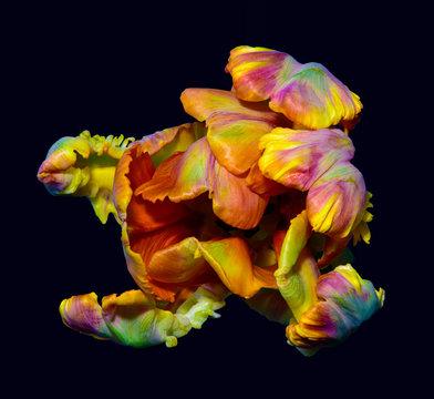 parrot tulip blossom surrealistic macro portrait fantasy,still life fine art of a single isolated bloom, fantastic realism style,pop-art rainbow colors