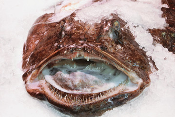 Fresh angler lophius monkfish on ice at fish market.