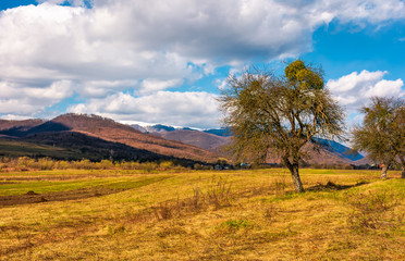 leafless trees on the rural field in mountains with snowy tops. beautiful countryside springtime scenery on a sunny day with some clouds on a blue sky