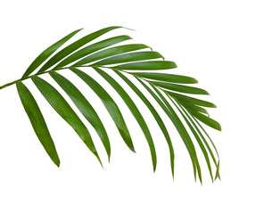 Acrylic Prints Palm tree Green leaves of palm tree isolated on white background