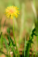 Dandelion flower on nature background in the forest. Springtime, yellow flowers