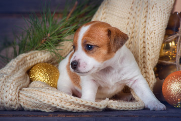 Puppy Jack Russell Terrier sits near Christmas decorations on wooden background