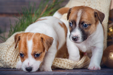 Two puppies Jack Russell Terrier on a plaid moving forward on wooden background