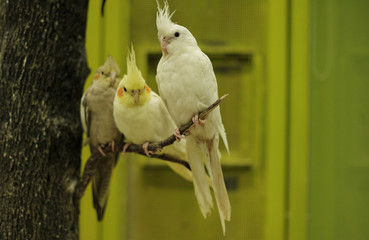 Cockatiels, offered for sale, are pictured at a pet salon in Sao Paulo