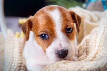 Cute puppy Jack Russell Terrier lying in a knitted blanket and looking forward close-up