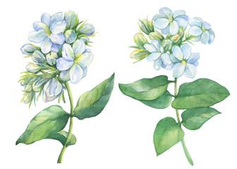 Set of Jasmine plant (Jasminum sambac, Arabian jasmine) with flowers and leaves. Watercolor hand drawn painting illustration isolated on white background. For card, wedding invitation, poster.
