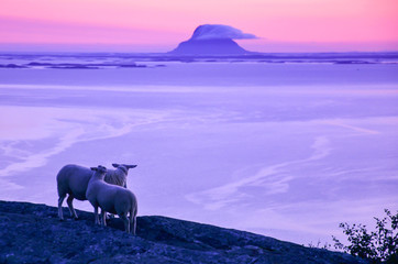 Beautiful scenery at the dusk, sheep at the cliff looking at the sea and small islands in Northern Norway, Scandinavia, Europe