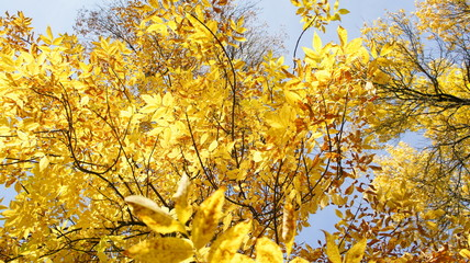 Autumn, fall Tree with colorful leaves