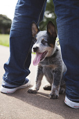 A young Blue Heeler puppy hiding between it's owners legs in the local park