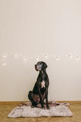 Dog sitting under fairy lights