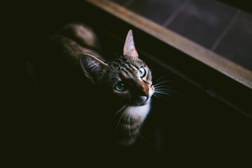 domestic tabby cat looking through the window