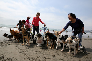 Volunteers of Milagros Perrunos dog shelter prepare paraplegic dogs for a group picture at Pescadores beach in Chorrillos, Lima,