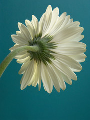 A White Gerbera Daisy Against A Bright Blue Background