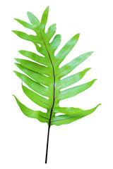 green leaf fern isolated on white background