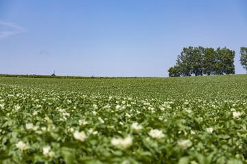 ジャガイモの花が咲く美瑛の丘