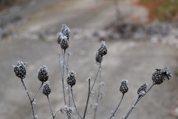 plant, branches, leaves and spikelets in snow-white frost in the morning frost