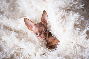 Toy terrier in white plaid, at home