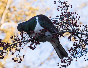 New zealand native pigeon( kereru)