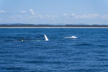 Walflosse ragt aus dem Meer