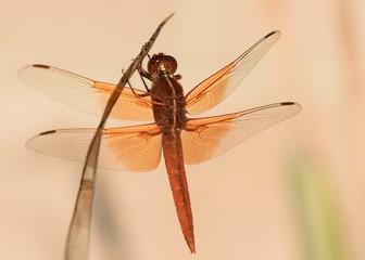 Dragonfly on Stem