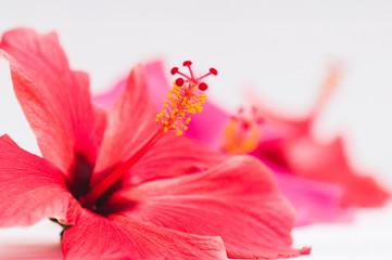 macro hibiscus flowers