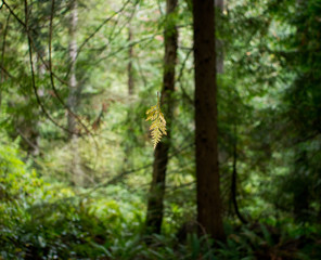 a dried suspended cedar leaf in the forest, blurred background