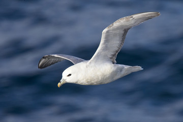Northern Fulmar (Fulmarus glacialis) flying over the sea off Iceland.