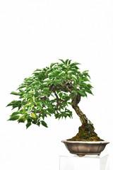 鉢植えの梅の木