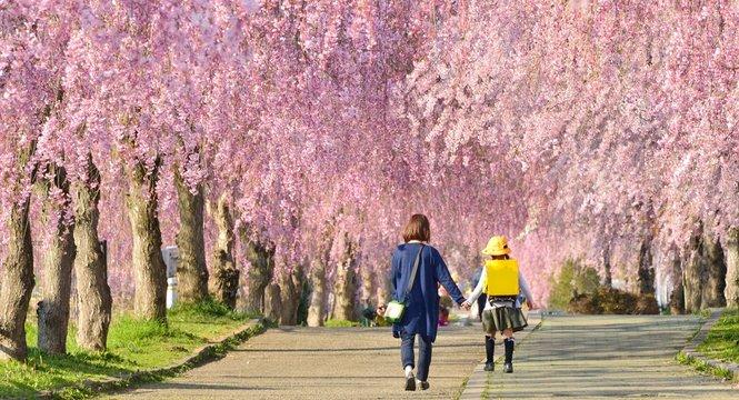 枝垂桜の並木道を歩くファミリー