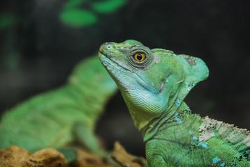 Plumed Basilisk Lizard head close up. Basiliscus plumifrons