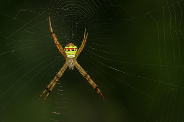 Image of multi-coloured argiope spider (Argiope pulchellla) in the net. Insect Animal