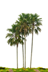 Palm Tree group Isolated trees on white background  Used in architectural decoration