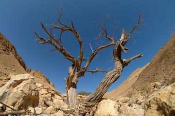 Dead dry tree trunk on arid landscape in Judea desert, Israel.