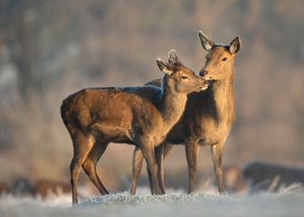 Red deer hind with a calf in winter.